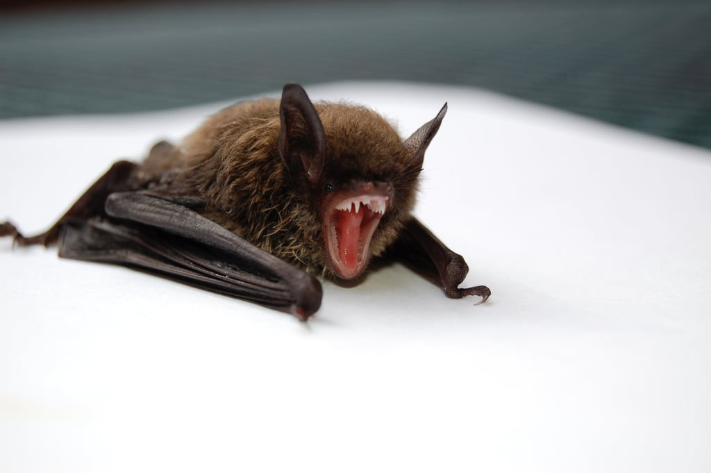 Bats are blind.