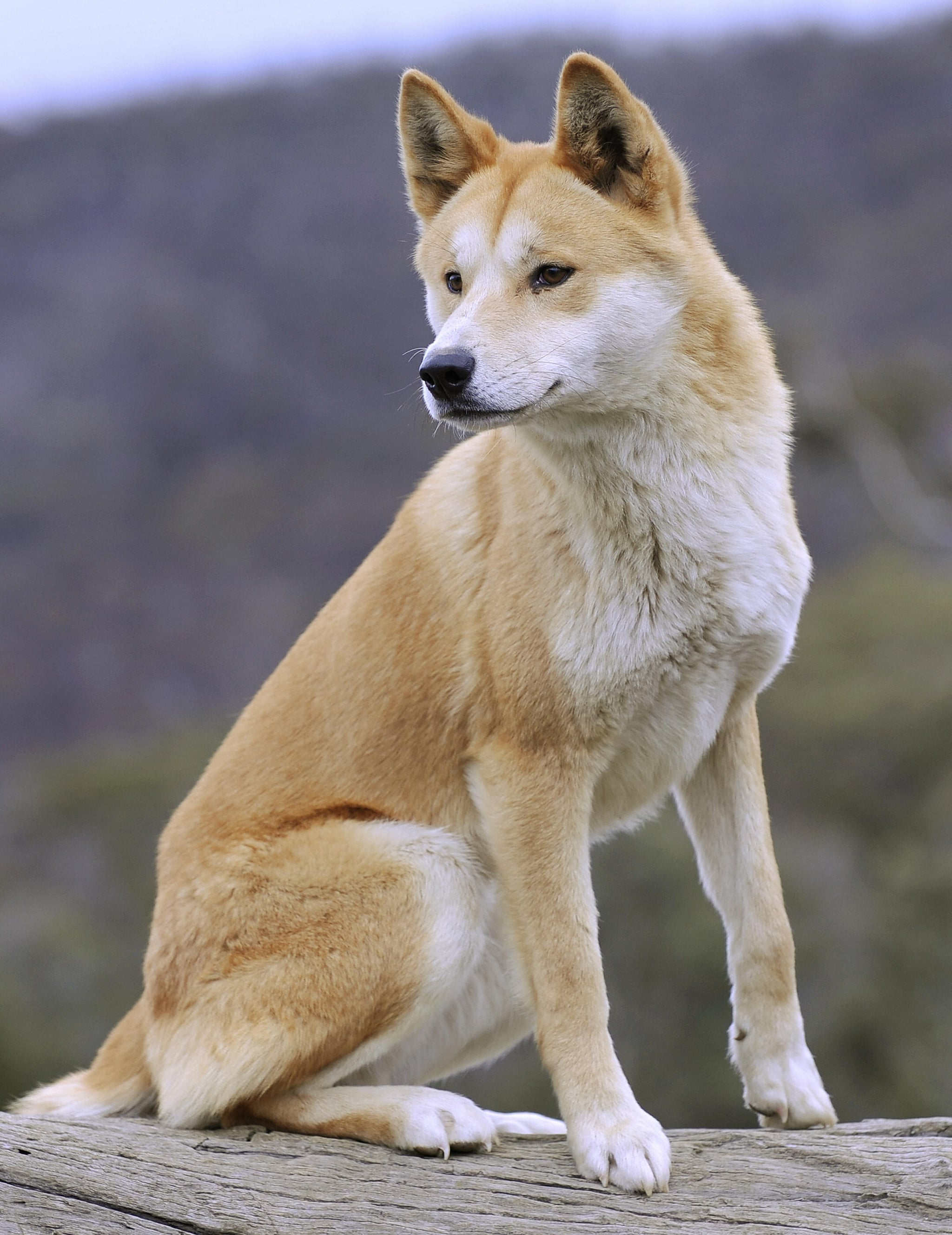 This lovely adult dingo at the Dingo Discovery and Research Centre showcases the more common tan-and-white coloring of the species. White dingoes and black dingoes also exist, but due to dwindling populations, they are very rare.