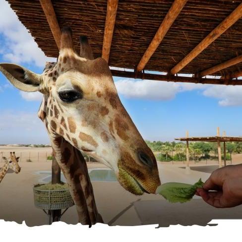 حديقة الحيوان بالعين تعلن عن إطلاق 12 مرفقاً جديداً خلال2020