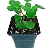 Swedish Ivy Plant
