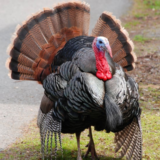 Adopt a Turkey For Thanksgiving