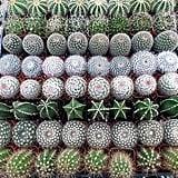 Small Cactus ($40)