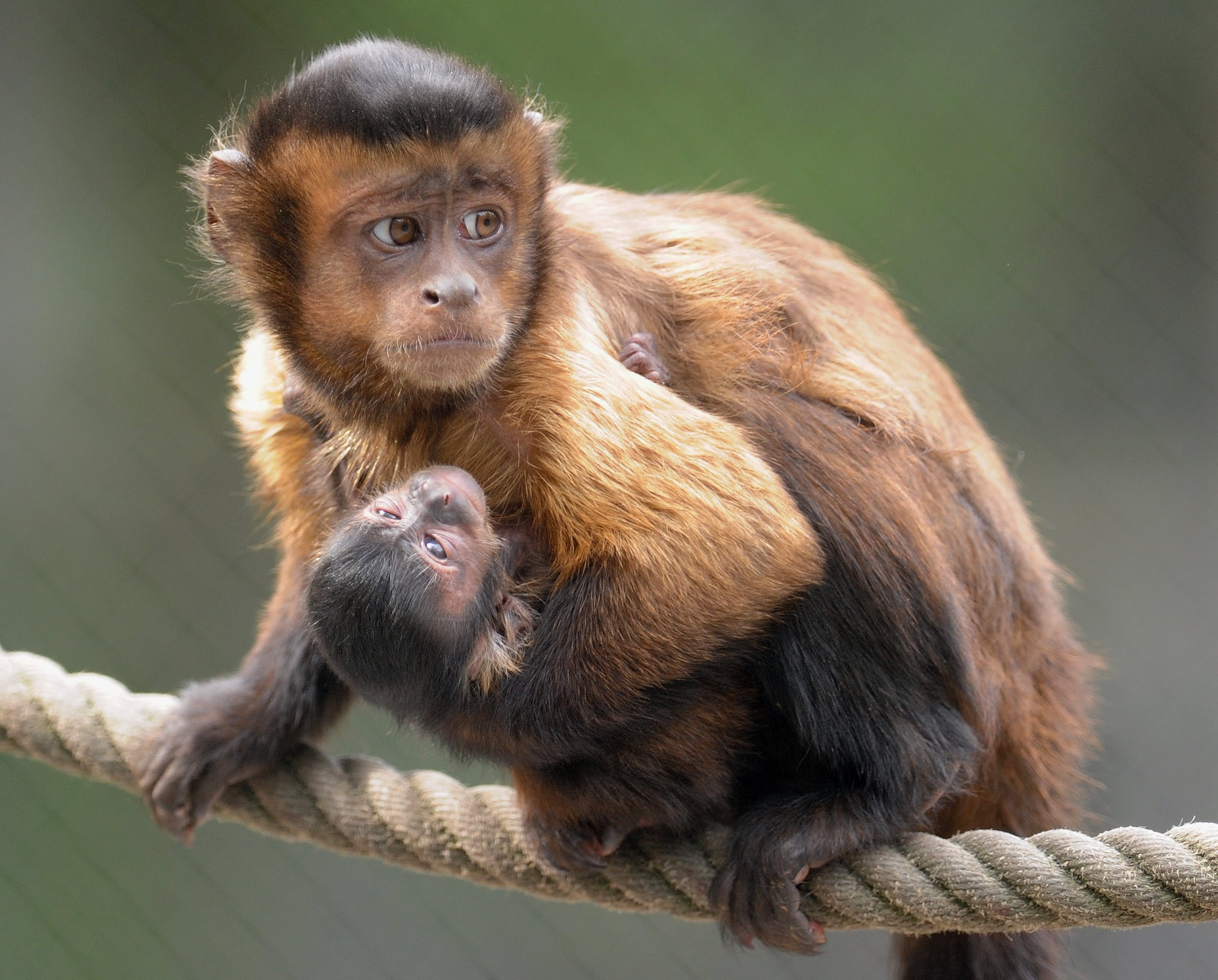 Capuchin monkeys got their name from the friars of the order Friars Minor Capuchin, who wore brown robes with hoods that covered their heads. Tufted capuchins have a distinctive crest of hair rising up from their foreheads and are avid tool-wielders in the wild (a talent that's exceeded in complexity only by chimpanzees).