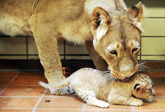 Awwwwfully Up Close and Personal With Two Lil Lions