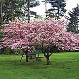 "Pink Dogwood Tree 8-16"" Tall"
