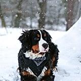 Libra (Sept. 23-Oct. 22) — Bernese Mountain Dog