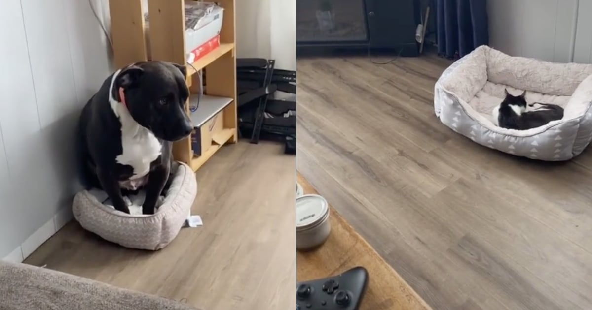 This Pit Bull's Defeated Reaction to Getting Kicked Out of His Bed by a Cat Is Hilarious