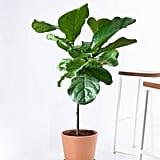 Potted Fiddle Leaf Fig Indoor Plant