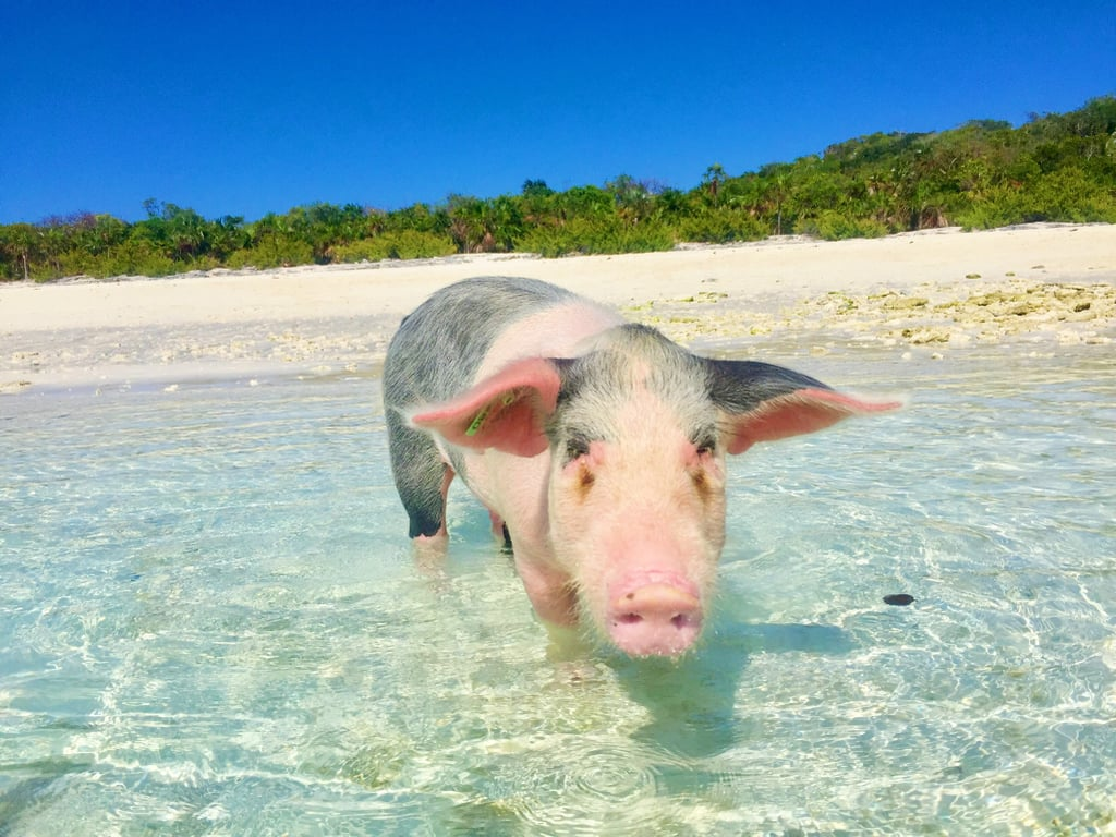 Swim With Pigs in Exuma