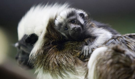 Cottontop Tamarin Baby Masters Cuddle in Two Weeks' Time
