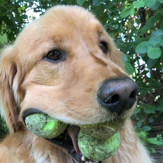 Video of Golden Retriever With Tennis Balls in Its Mouth