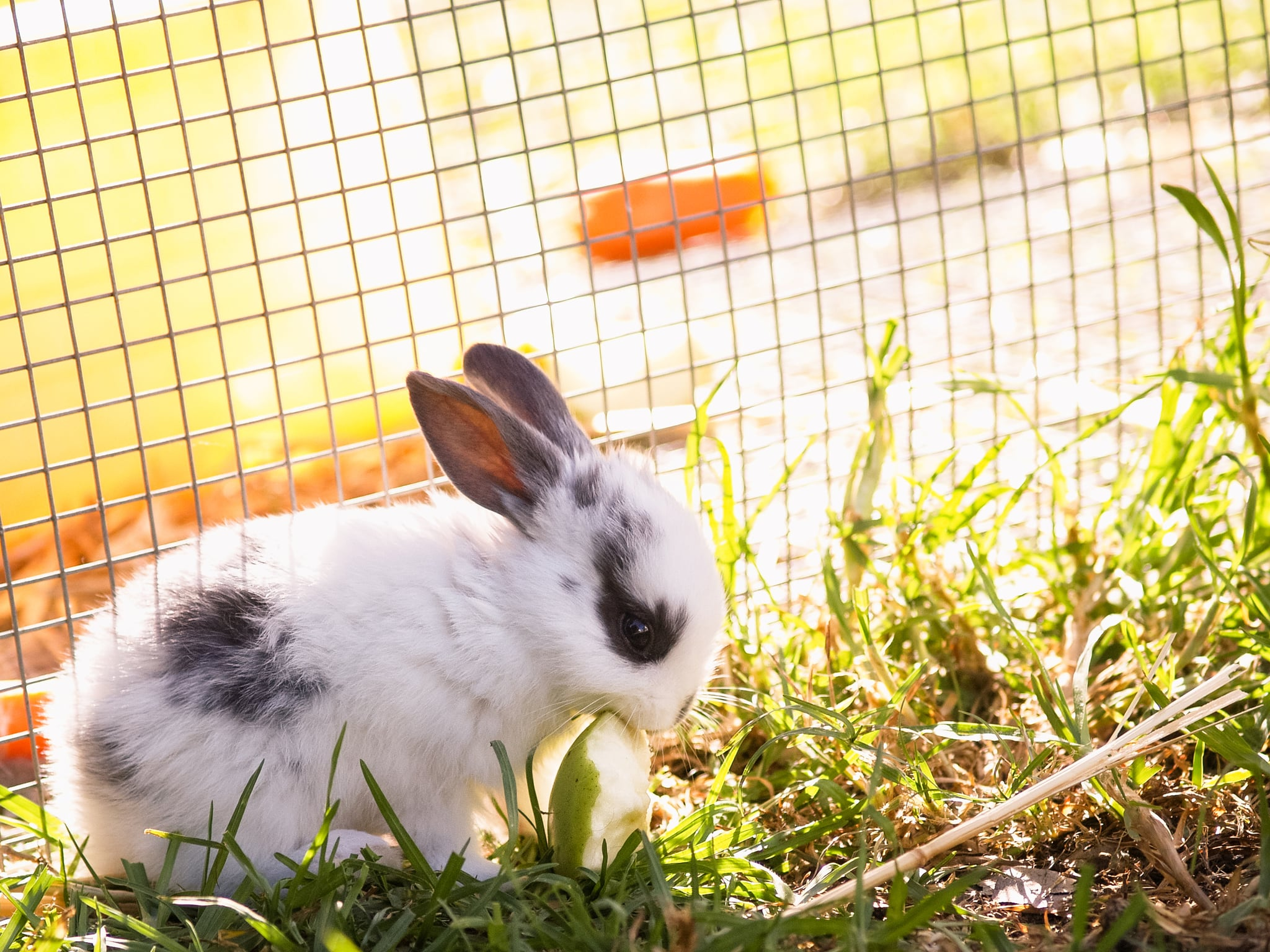 Baby dwarf rabbit sitting on grass by cage, eating apple piece