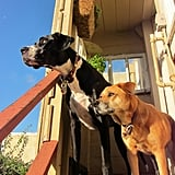 iOS Developer Anthony Prato's Great Dane, Rio, and mutt, Umi, look like best friends.