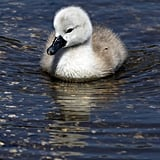 This cygnet celebrates Spring with a dip in the pond. Source: Getty