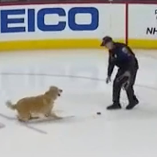 Golden Retriever Plays Fetch on Ice With Hockey Puck Video