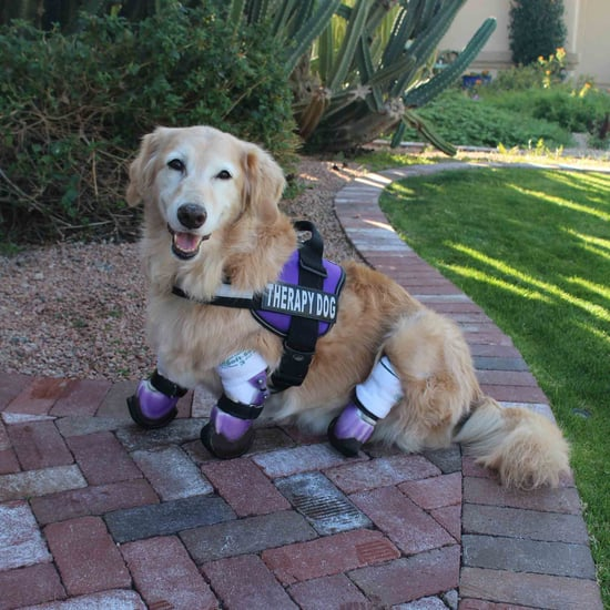 Dog With Prosthetic Paws Becomes a Therapy Dog