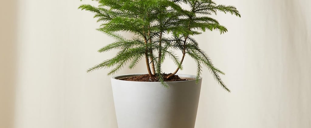 Easy Delivery Christmas Tree Alternative From Bloomscape