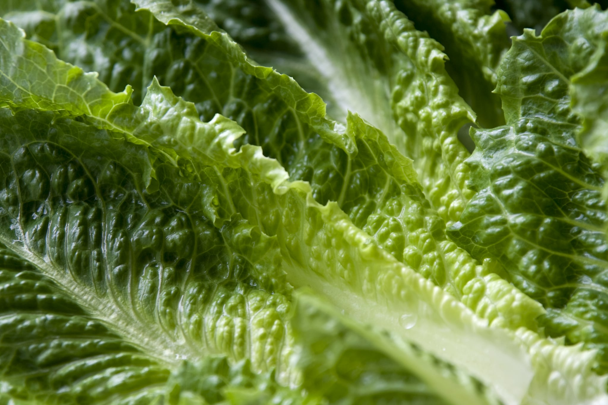 Wet leaves of Romaine lettuce.