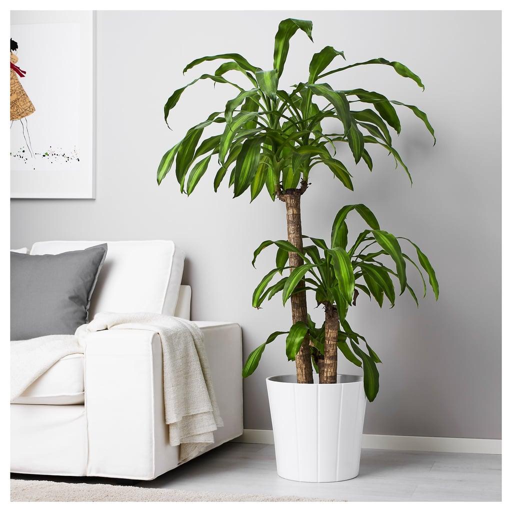 Dracaena Massangeana Potted Plant