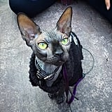 There were cats of all types represented at the Con, from sphynxes to exotic shorthairs.
