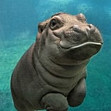 This happy baby hippo