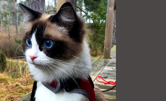 """Summer Queen the Ragdoll Aspires to Be a Pro """"Meowdel"""""""