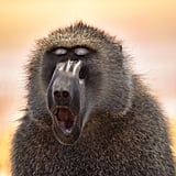 This baboon who starts every morning with a mantra meditation.
