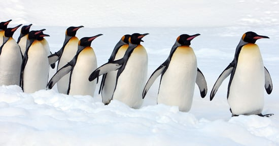 Photos of King Penguins