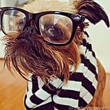 Digby Van Winkle is a Brussels Griffon who likes dressing up as much as Trotter does. Maybe they should team up and rule the world together? Source: Instagram user digbyvanwinkle