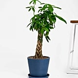Potted Money Tree Indoor Plant