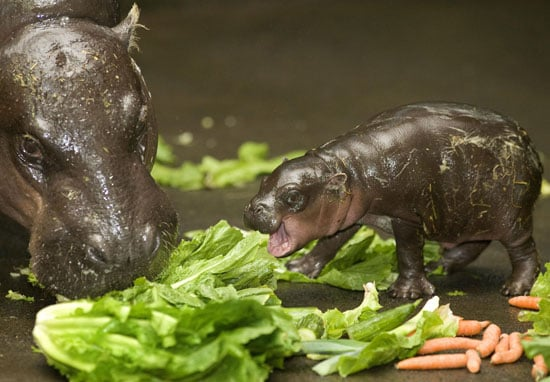 Sugar Shout Out: Hello There Hungry, Hungry Newborn Hippo!