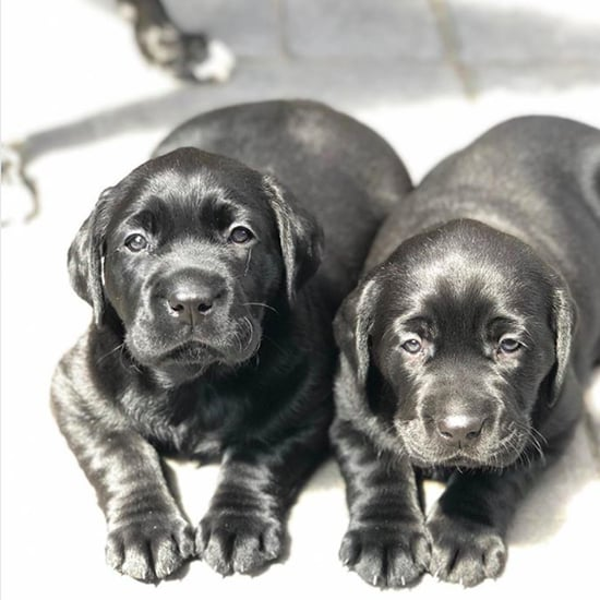 Photos of Labrador Puppies