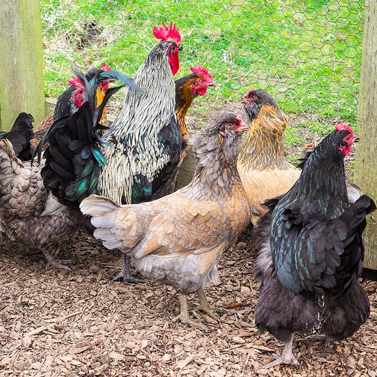 The Pros and Cons of Backyard Chickens