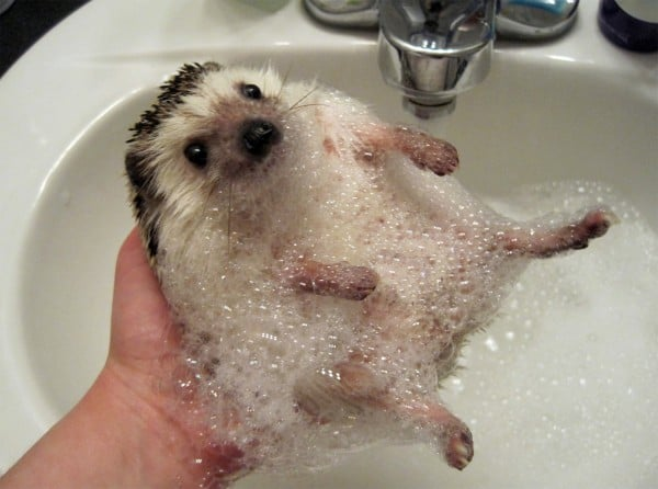 Hedgehog Bath Time