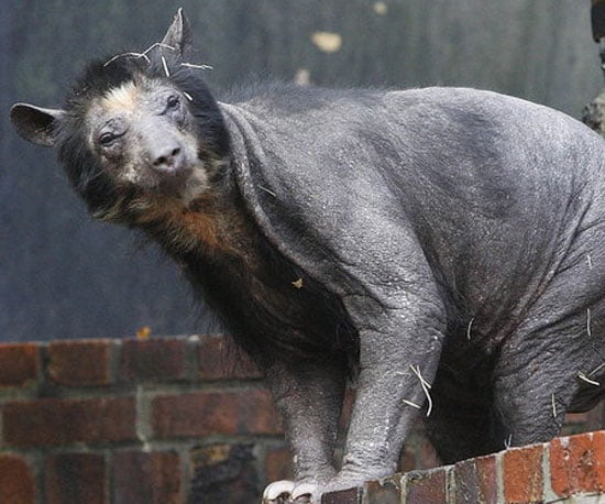 Dolores Is Beary Hairless