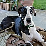 Cute Pictures of Great Danes