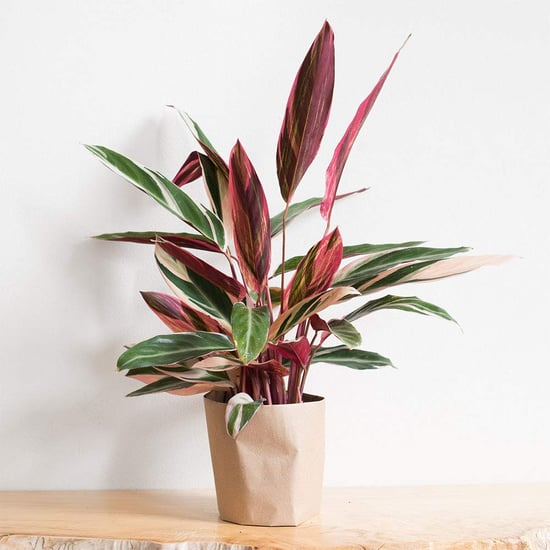 Where to Buy Pink Houseplants