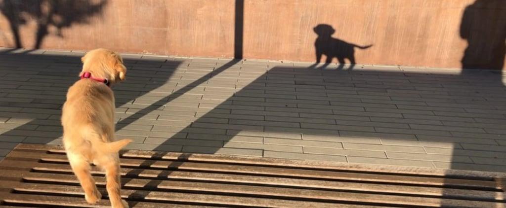 Video of Golden Retriever Barking at Her Shadow