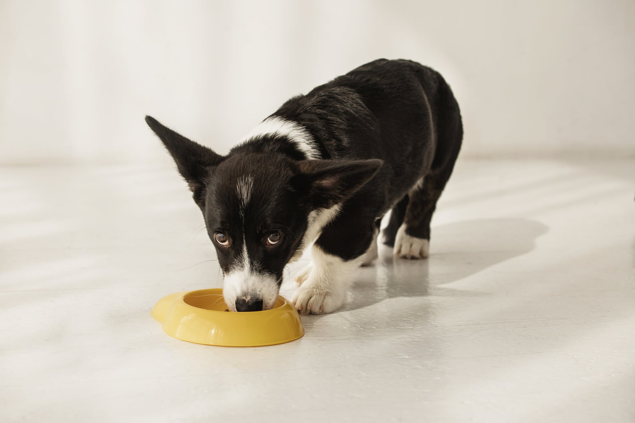 Portrait of black and white corgi eating from bowl on a floor in light room