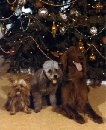 Former President Nixon's pooches — Pasha, the Yorkshire Terrier; Vicky, the Poodle; and King Timahoe, the Irish Setter — behaved admirably for this pic (undoubtedly in anticipation of the holiday treats to follow!). Source: Nixon Presidential Library