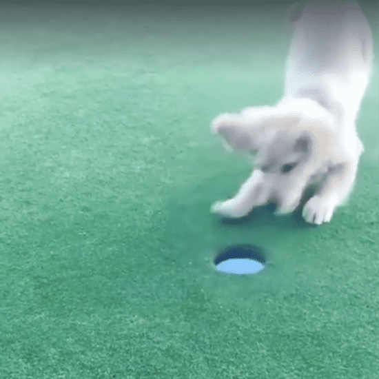 Dog Celebrates Getting a Hole in One
