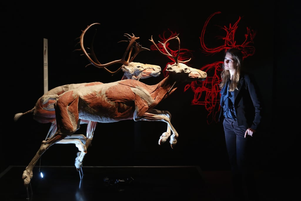 The leg muscles of reindeer are concentrated close to the body, leaving the lower legs light and agile, to help these creatures evade predators.