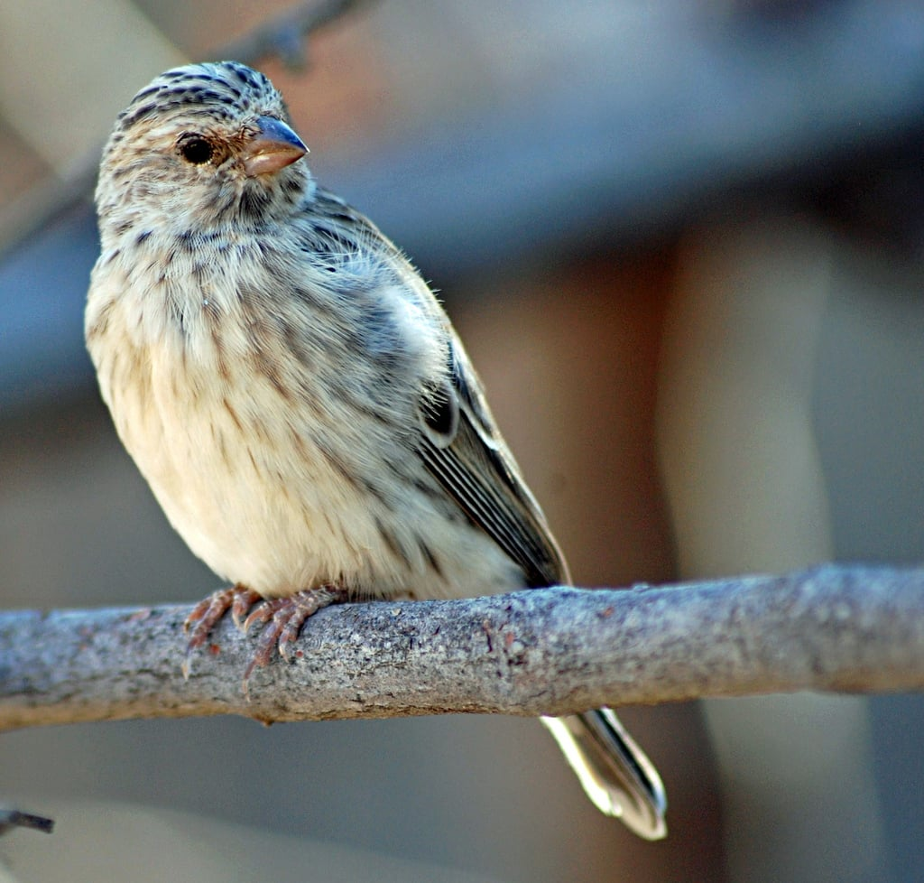 Songbirds communicate their identity and location to other birds through song. Bird calls are different from bird songs and are used to send an alarm. Source: Flickr user Pius Mahimbi
