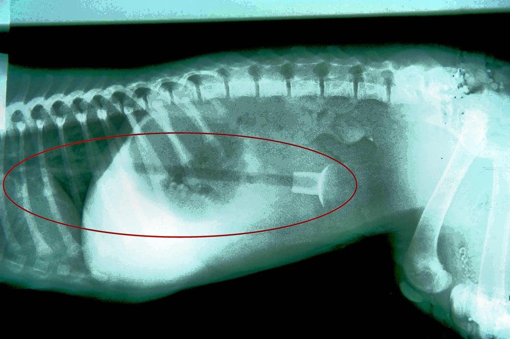 Photos of a Dog Who Swallowed an Arrow