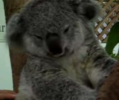 The Tickle Me Koala!