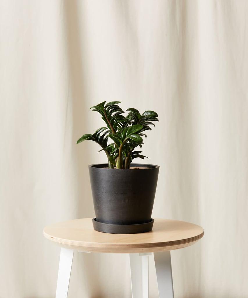 Zenzi Plant