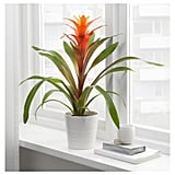 Bromeliaceae Potted Plant