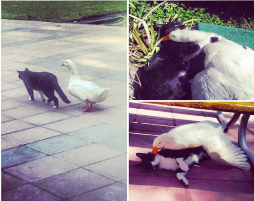 This cat and goose pair may have nothing in common other than their love for each other. Source: Imgur user Vichris