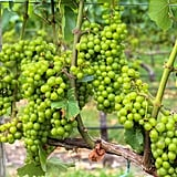 If you're like me, seeing this many vines of plump, juicy grapes will make you immediately think of that grape-stomping episode of I Love Lucy.      Related:                                                                                                           7 Mature Girls' Trips to Take in Your 30s