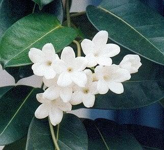 Flowers 101: Stephanotis